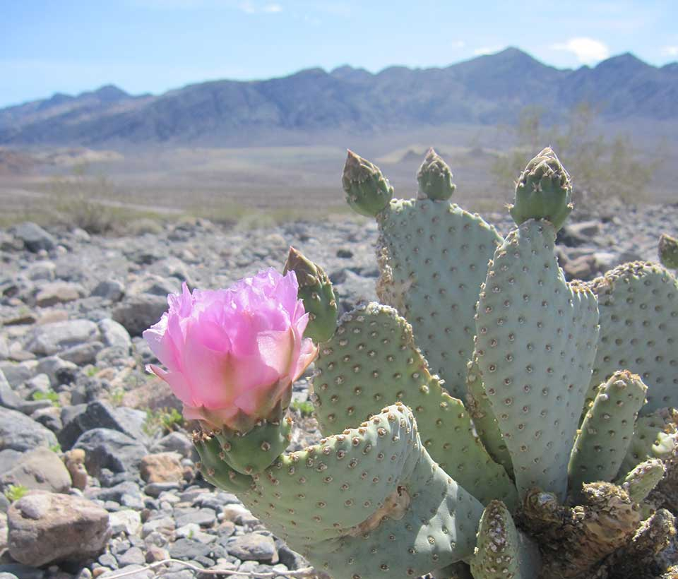 Cactus Flowers in Death Valley